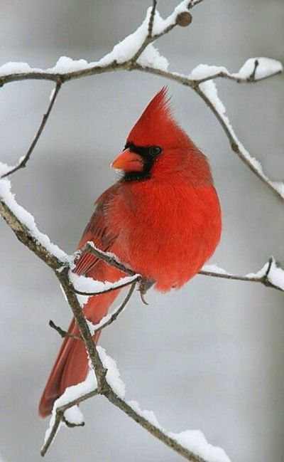 cardinal on snowy branch / birds - Juxtapost