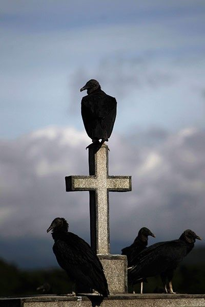 Guatemala City, Guatemala: Vultures perch on the cross of a grave at a cemetery