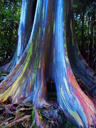 Rainbow Eucalyptus Trees, Maui, Hawaii, USA--There is a small forest of these trees off the Hana Highway. As the outer bark naturally sheds it leaves strips of green inner bark exposed and as it grows the inner bark turns bluish, orange, purple and maroon...