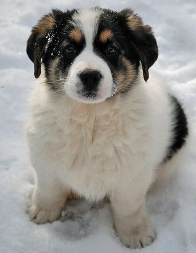 German Shepard/Saint Bernard Mix