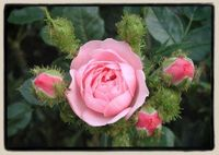 'Dresden Doll' miniature moss rose