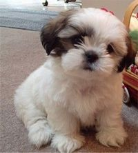 Shih Tzu puppy. oh I want you!