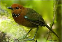Rufous headed Ground Roller
