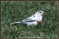 ?An American robin with leucism, a rare condition where pigment cells don't develop properly, resulting in white patches or a completely white animal.
