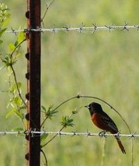 Orchard Oriole resting on a fence wire