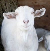 Daisy (saanen) is an adoptable Goat Goat in Arlington, WA. Daisy is a sweet, funny, 3 year old Saanen-cross doe. She is all white, with a pink, freckled nose. Daisy has a cool beard and has been dehor...