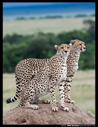 Cheetah Brothers in the dim light of an approaching storm on the Masai Mara.