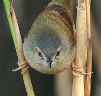 Yellow-bellied prinia, taken at Guandu, Taipie City, TAIWAN