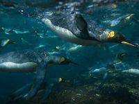 Penguins swimming under water