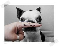 mustache french bulldog.