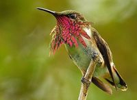 Wine-Throated Humming Bird by Knut Esermann