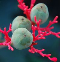 glowing Coral Plant and its wondrous turquoise seeds