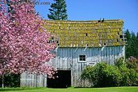 shabby old white barn with a pink blossomed tree
