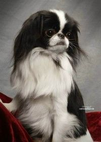 Japanese Chin....too cute! Just found out that Heids is a Japanese Chin mix with no Boston Terrier at all. After looking into the breed.... I can see it.