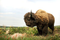 landscape photo roaming buffalo with rabbit