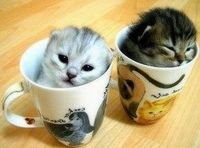 Teacup Kitties, #cat, #kitty, #cute