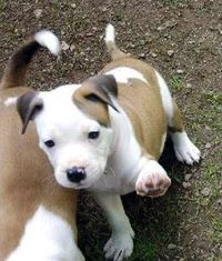 American Pit Bull Terrier puppy. Punish the deed not the breed.